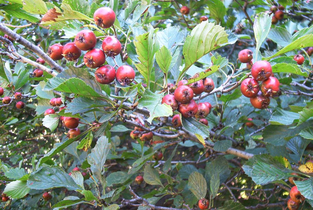 Hawthorn berries growing in Susan Elliotson, Medical Herbalist's, back yard.