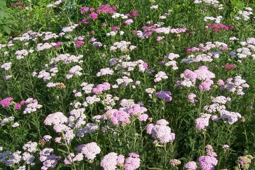 Achillea millefolium - Elliotson Herb Garden