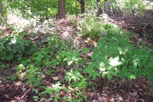 Sanguinaria canadensis, Dryopteris filix-mas, Gailum odoratum, Caulopyllum thalictroides, Actea racemosa, Hydrastis canadensis