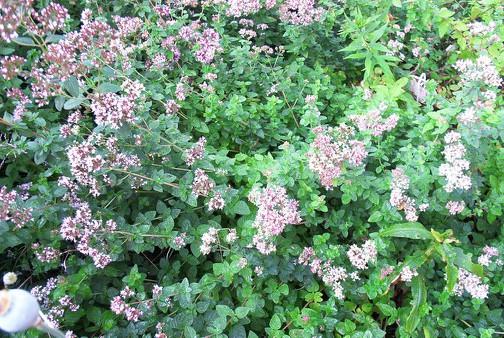 Susan Elliotson's Herb Garden Wild Marjoram